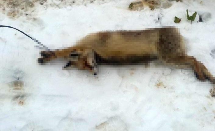 Kümese giren tilkiyi öldürüp ağaca astı