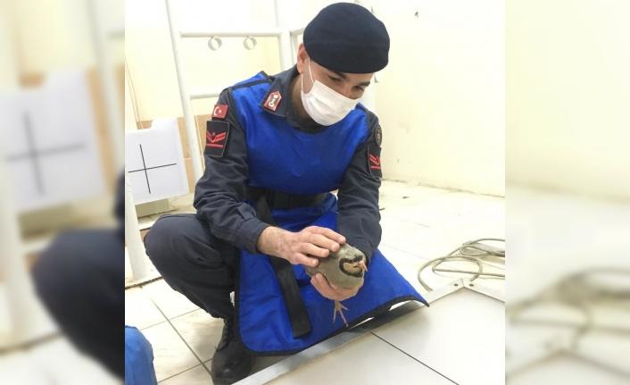 Jandarmanın önüne düşen yaralı keklik tedavi altına alındı
