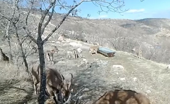 Su ve yiyecek ihtiyacını karşılayan dağ keçileri, fotokapanla görüntülendi