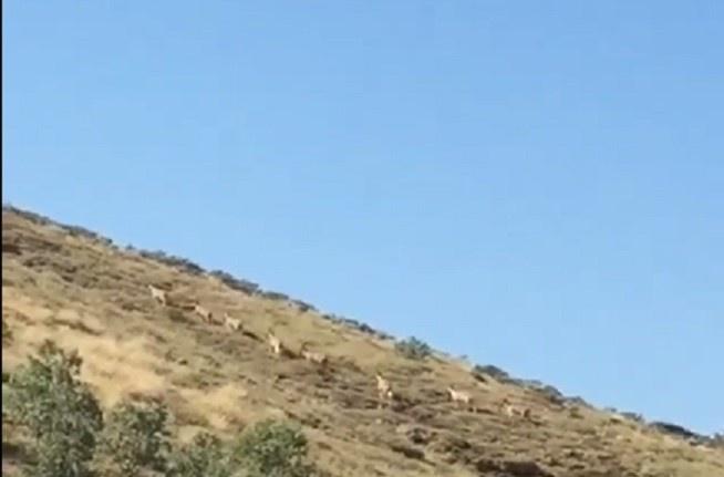 Dağ keçileri sürü halinde görüntülendi
