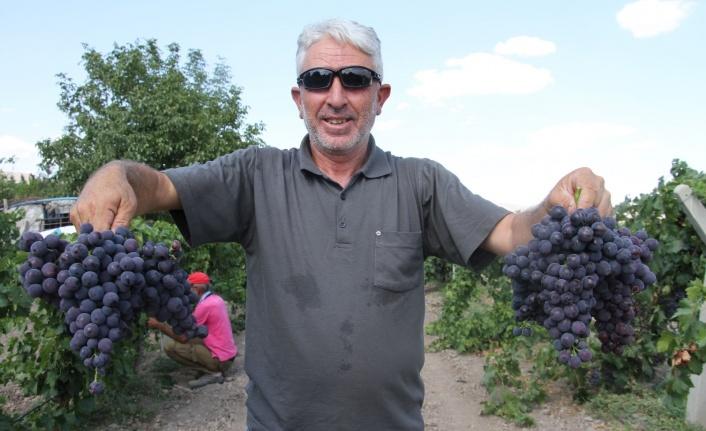 Elazığ'ın üzüm köyünde erkenci üzüm hasadı