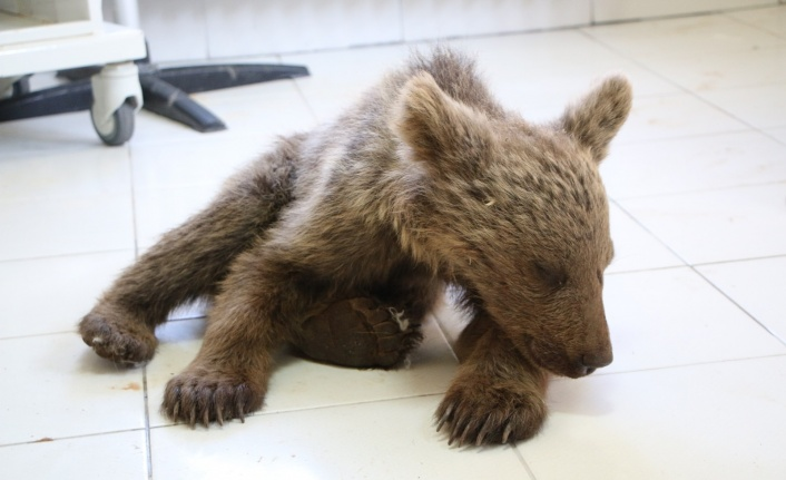 Yaralı yavru ayı tedavi altına alındı