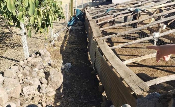 Elazığ'da ağıldan kaçan 90 keçiden 16'sını kurtlar telef etti