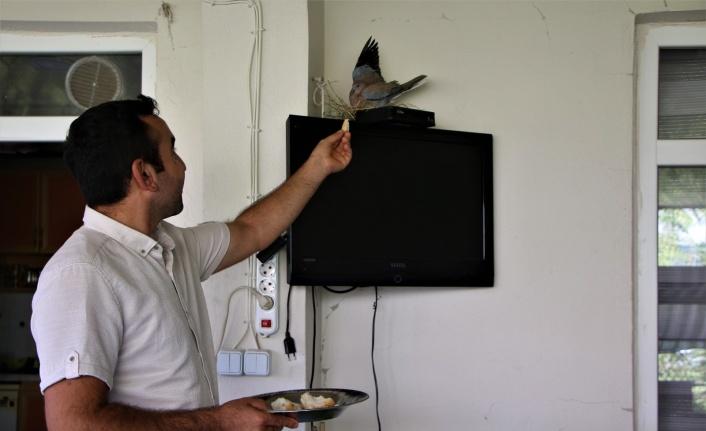 Sağlık çalışanı, televizyonun üstüne yuva yapıp yumurtlayan kumruya gözü gibi bakıyor