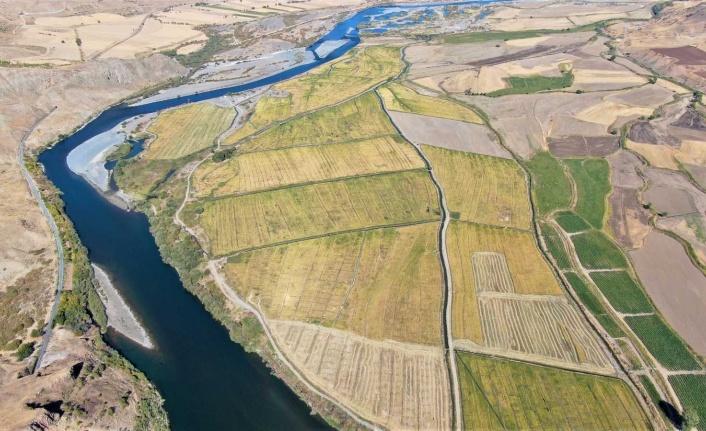 Kuruyan Murat Nehri'nde 150 gün suyun içinde yetişen pirinçte hasat zamanı