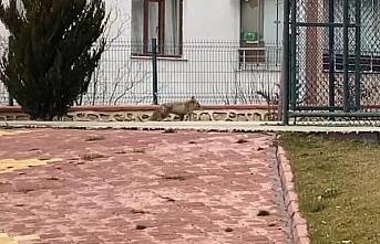 Elazığ'da tilki şehre indi, site bahçesinde gezdi