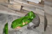 Kafasını ambalaja sıkıştıran kirpiyi duyarlı vatandaş kurtardı
