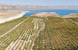 Devletten destek aldı, bin dönüm arazi üzerine ektiği bademlerin hasadına başladı