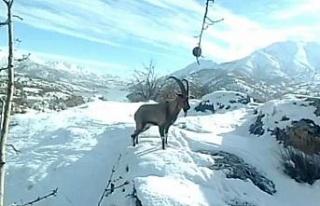 Dağ keçilerinin görüldüğü yerlere jandarmadan...