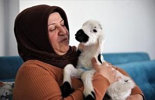 Sahiplendiği kuzu, hem evinin neşesi, hem de terapisi...