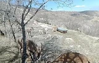 Su ve yiyecek ihtiyacını karşılayan dağ keçileri,...