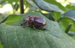 Bir dönem herkesin dikkatini çeken gergedan böceği...
