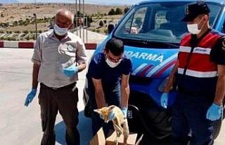 Elazığ'da jandarmadan yaralı tilkiye şefkat...