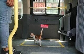 Elazığ'da yolcu gibi minibüse binen kedi, çarşı...