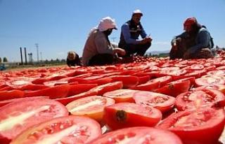 Dünya sofralarına lezzet katacak kurutmalık domatesin...