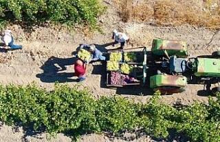 Elazığ'da 'En tatlı' hasat dönemi başladı