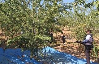 Elazığ'da 'organik badem hasat etkinliği'...