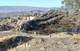 Elazığ'da yaban keçileri tarihi Harput Kalesine...