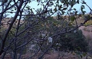 Elazığ'da yalancı bahara aldanan kiraz ağaçları...
