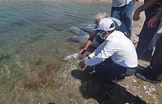 Baskil'de 300 bin sazan baraj gölüne bırakıldı