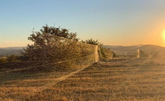 Bıldırcın yakalamak için 100 metrelik kaçak ağ çektiler