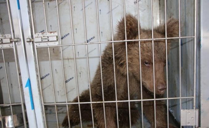 Elazığ'da yaralı yavru ayı, sağlığına kavuştu